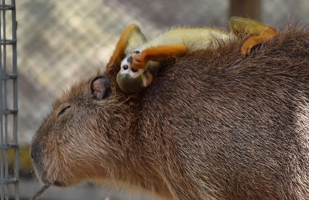 Капибара - Животное, с которым все хотят дружить 8