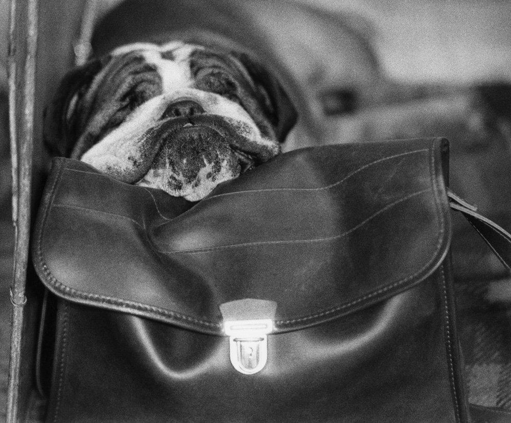 «Дай, Джим, на счастье лапу мне»: фотографии Ширли Бейкер с выставок собак 1960-70-х 12