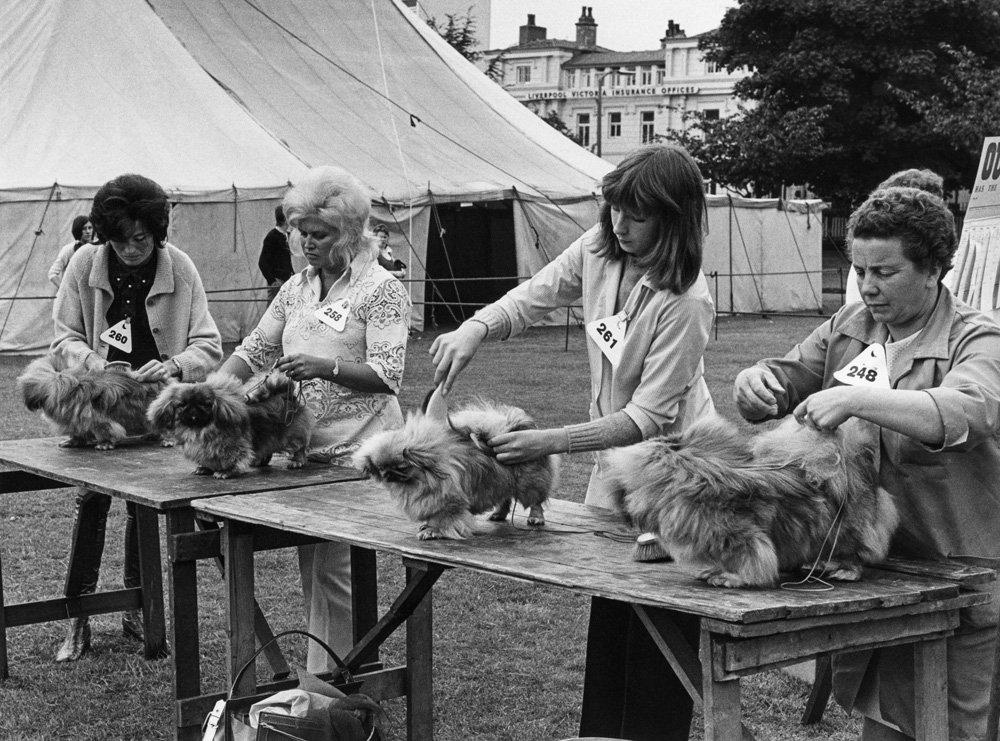 «Дай, Джим, на счастье лапу мне»: фотографии Ширли Бейкер с выставок собак 1960-70-х 16