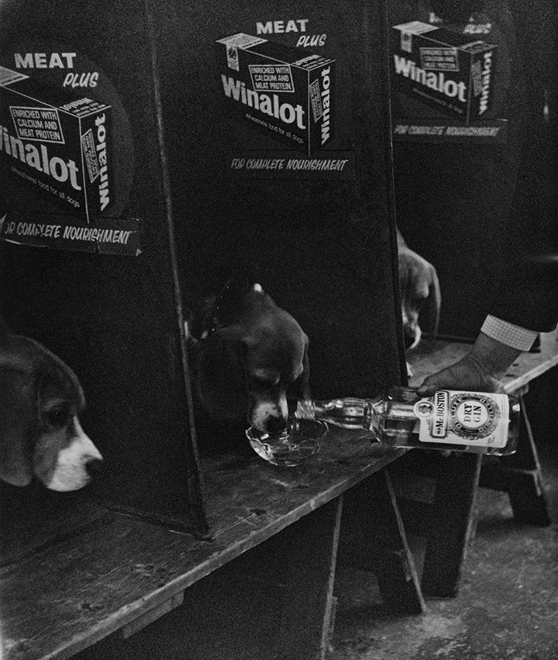 «Дай, Джим, на счастье лапу мне»: фотографии Ширли Бейкер с выставок собак 1960-70-х 17