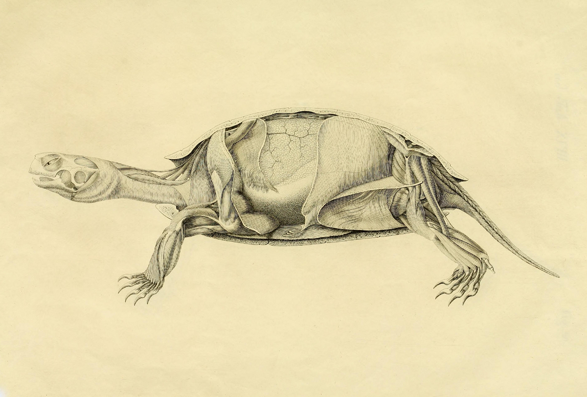 What is under the shell: the anatomy of a turtle in the drawings of a nineteenth-century German naturalist 5