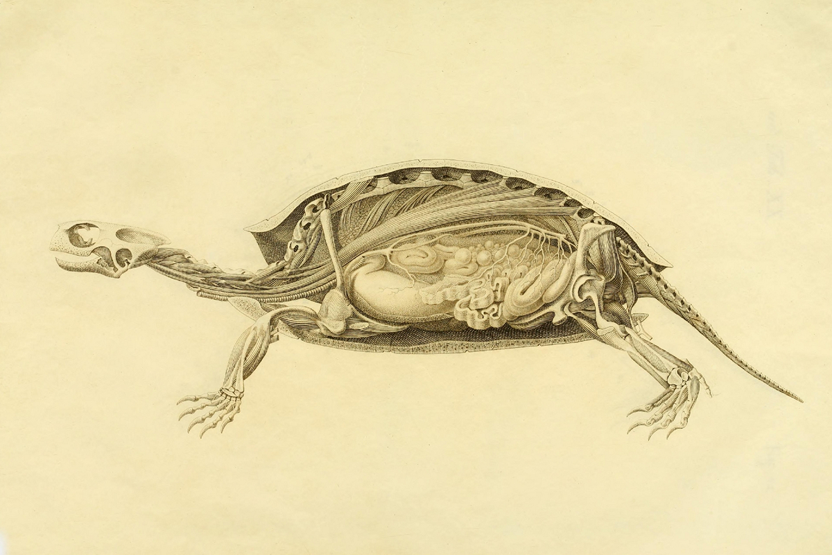 What is under the shell: the anatomy of a turtle in the drawings of a German naturalist of the nineteenth century 7