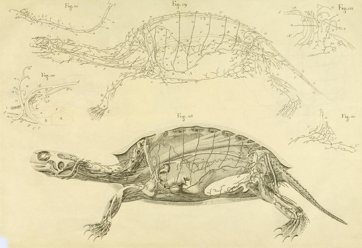What is under the shell: the anatomy of a turtle in the drawings of a nineteenth-century German naturalist 9