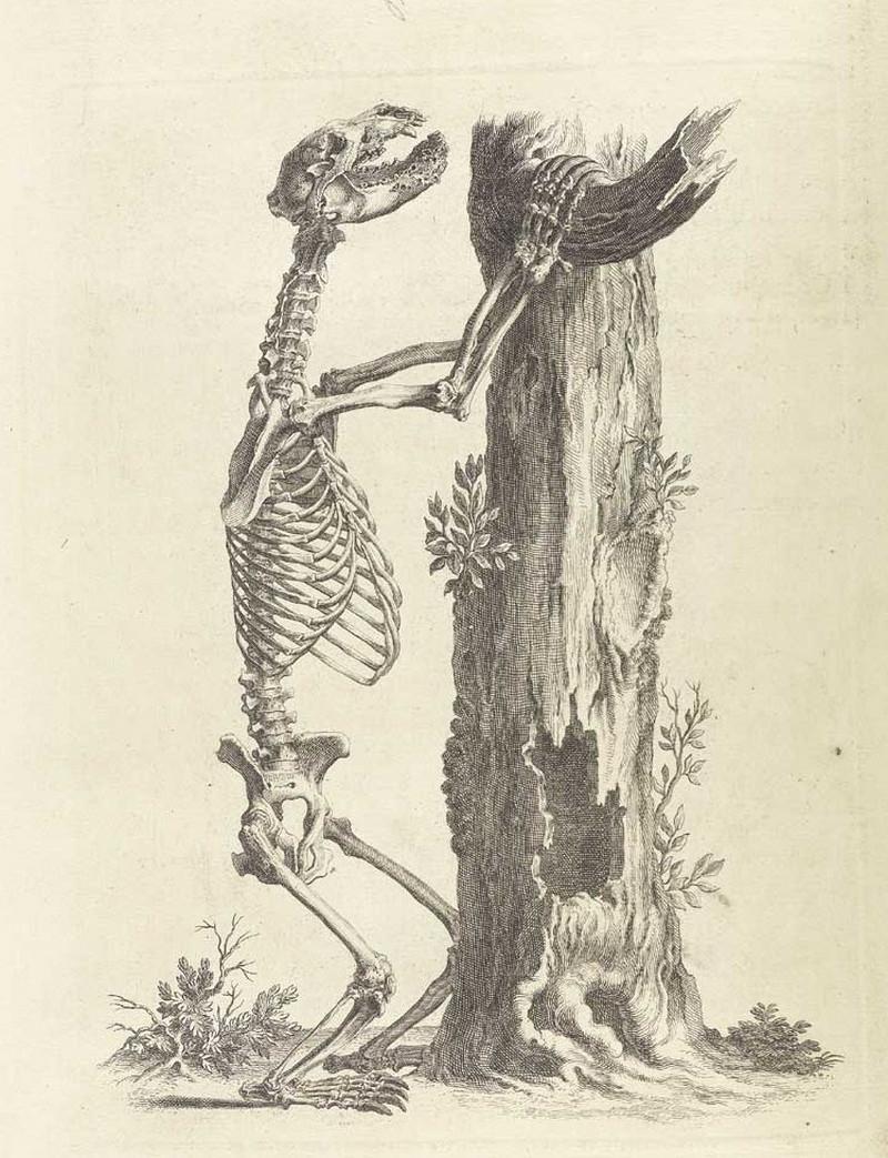 Достоверность и изящество в костях. «Остеография» Уильяма Чеселдена (1733)  13