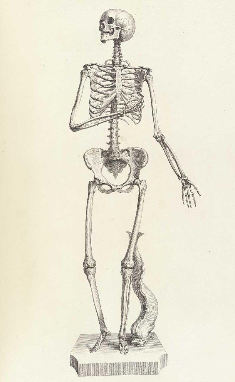 Достоверность и изящество в костях. «Остеография» Уильяма Чеселдена (1733)  17
