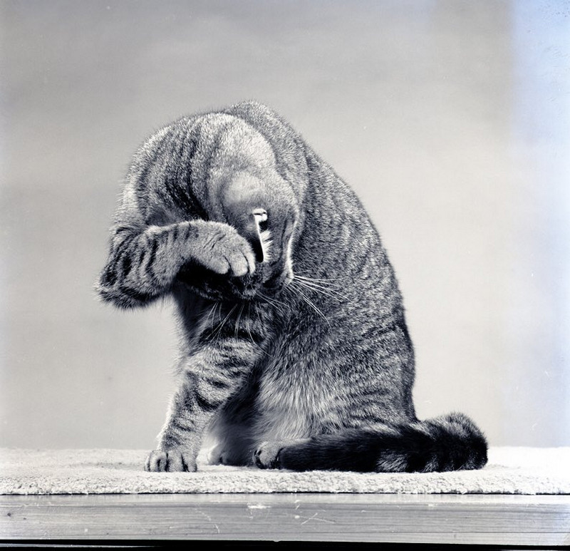 Уолтер Чандоха – человек, который 70 лет фотографировал кошек   15