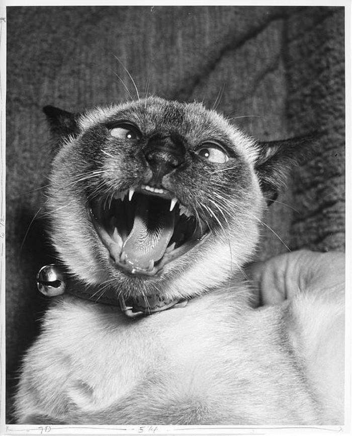 Уолтер Чандоха – человек, который 70 лет фотографировал кошек   25