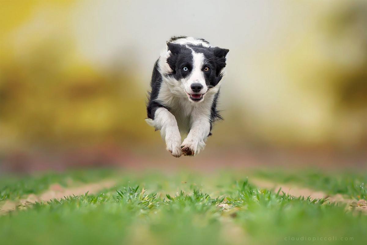 Супер собаки в фотографиях Клаудио Пикколи 12