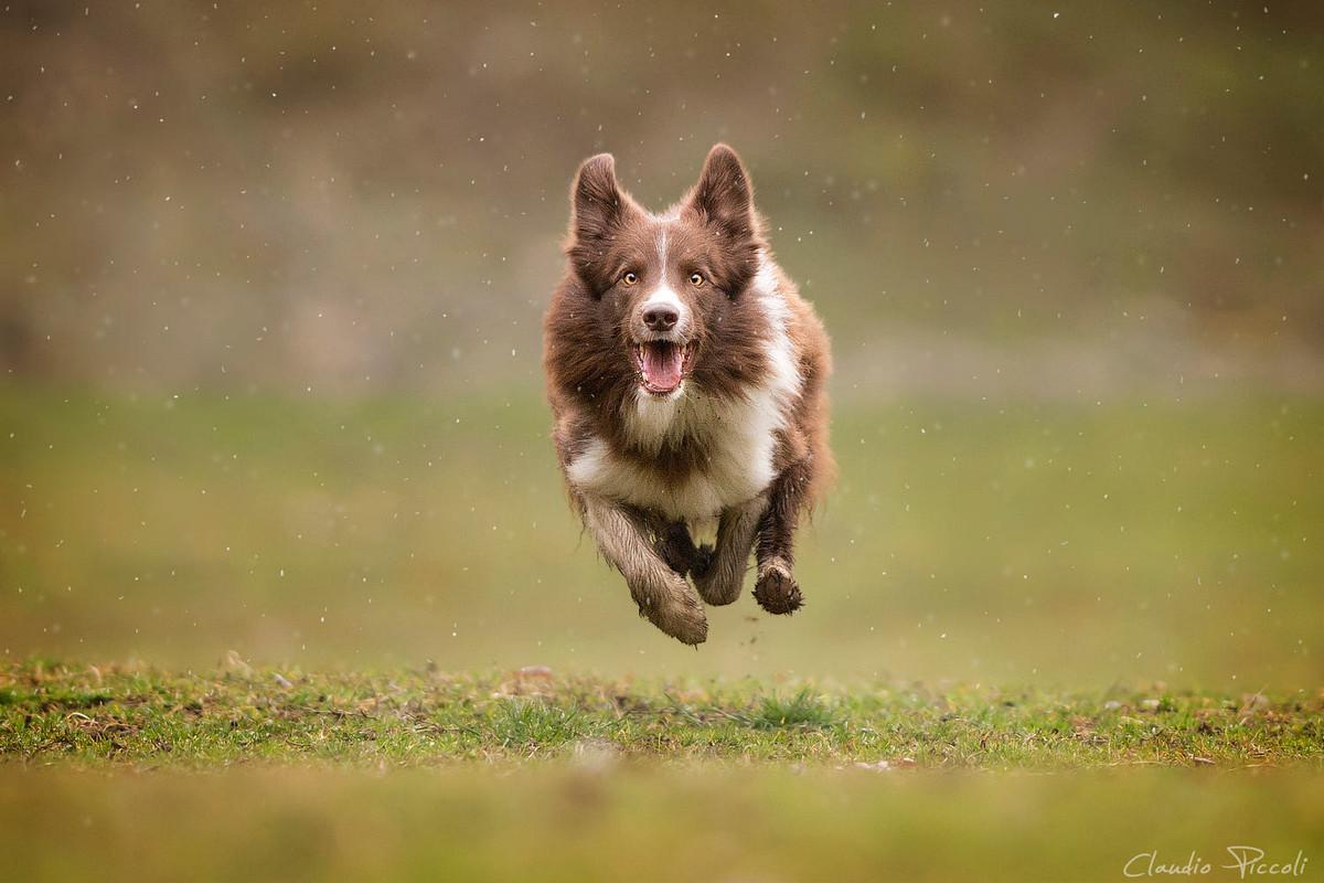 Супер собаки в фотографиях Клаудио Пикколи 13