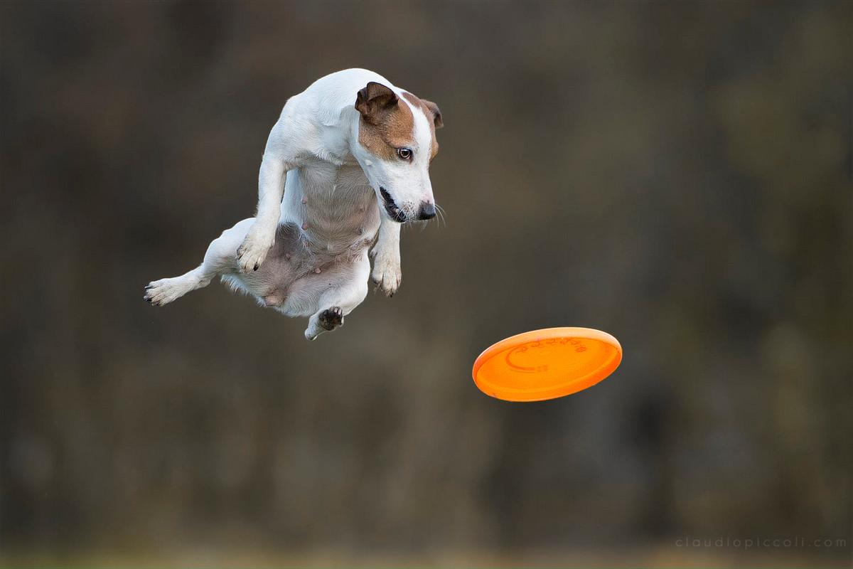 Супер собаки в фотографиях Клаудио Пикколи 14