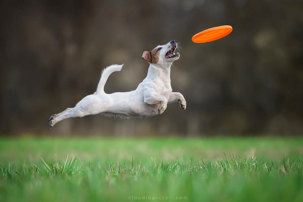 Супер собаки в фотографиях Клаудио Пикколи 15