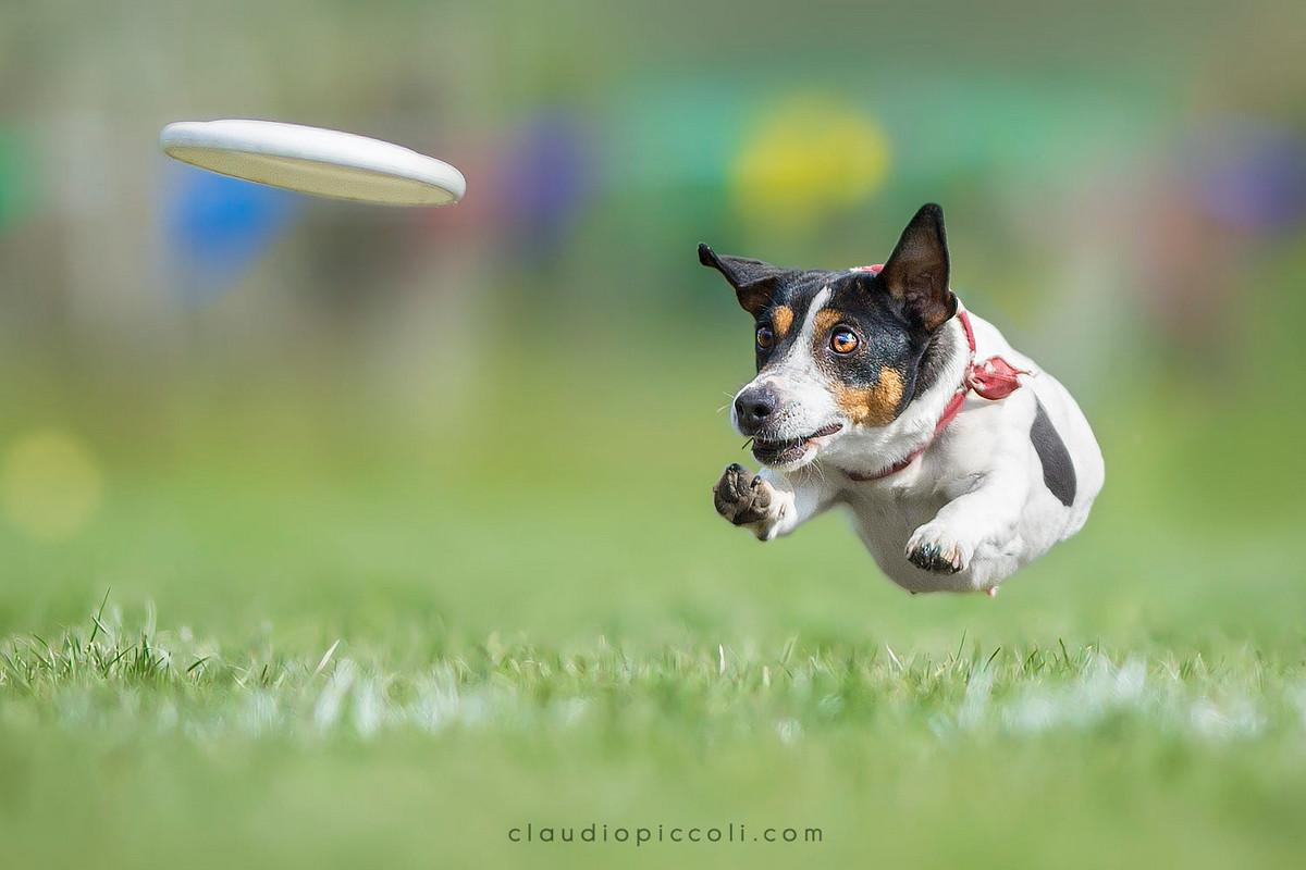 Супер собаки в фотографиях Клаудио Пикколи 17
