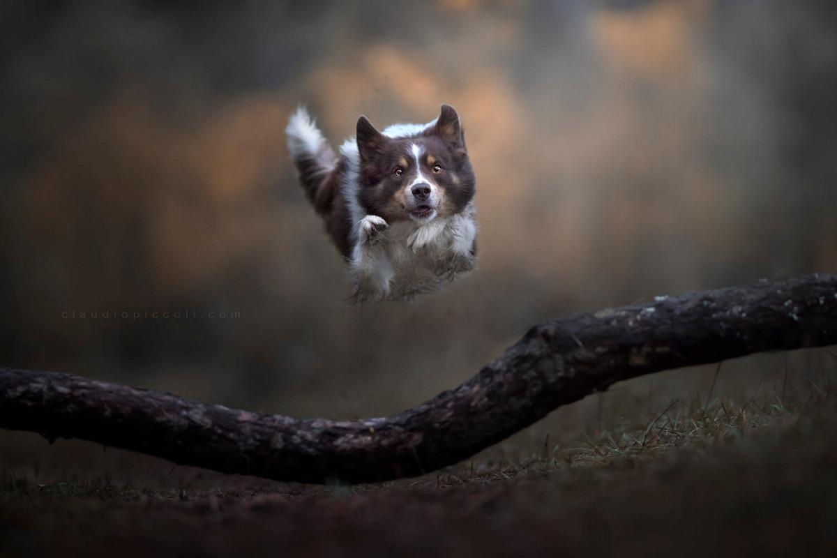 Супер собаки в фотографиях Клаудио Пикколи 22