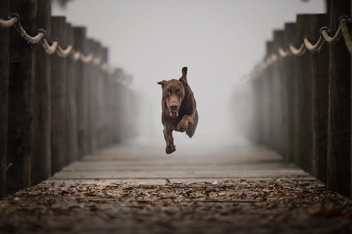 Супер собаки в фотографиях Клаудио Пикколи 23
