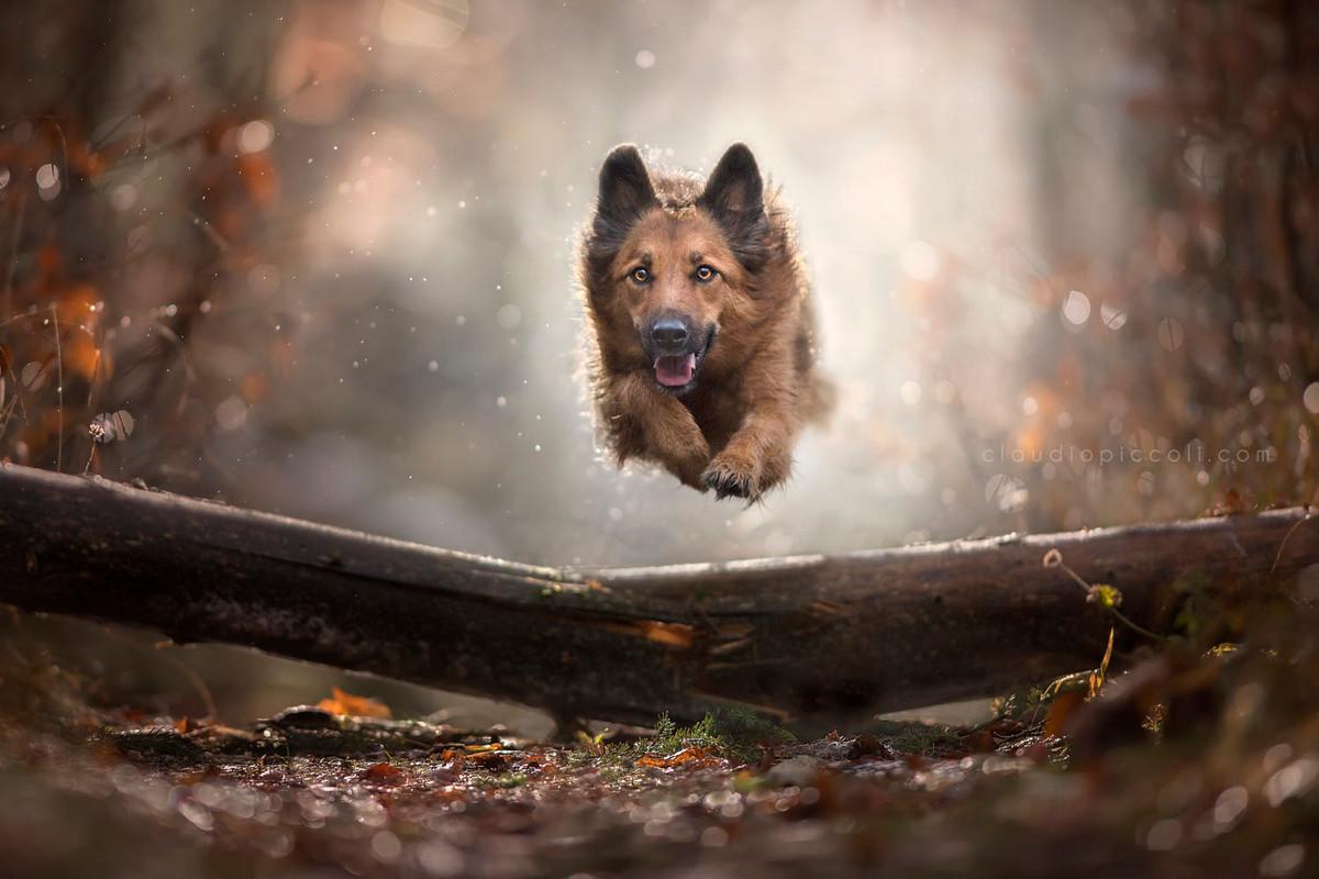 Супер собаки в фотографиях Клаудио Пикколи 24