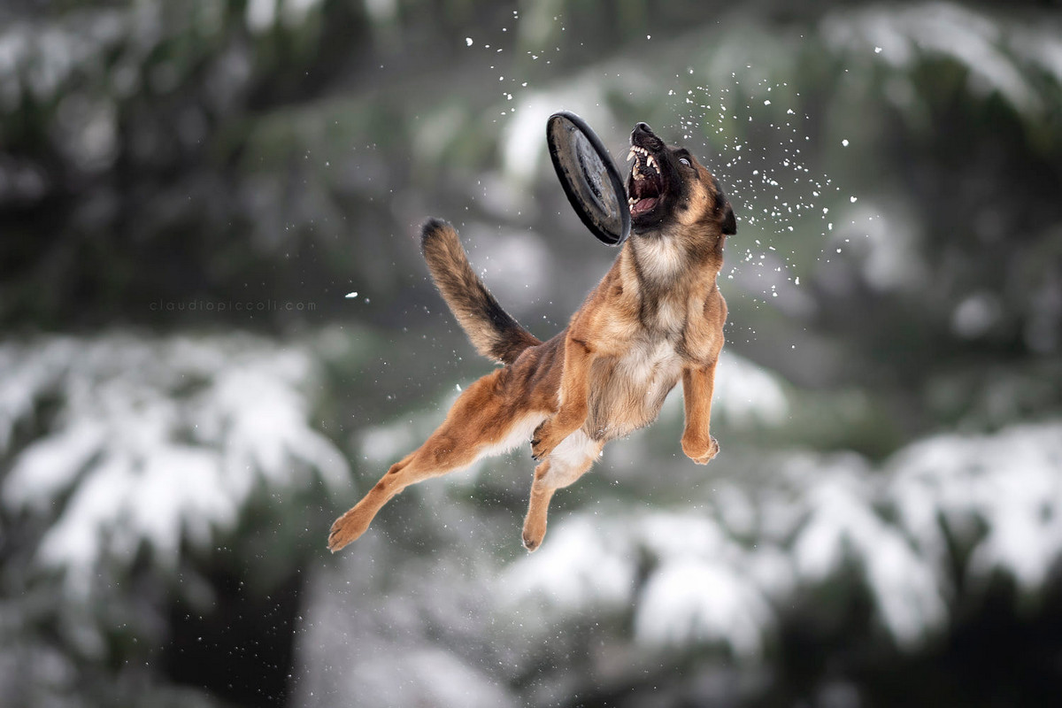 Супер собаки в фотографиях Клаудио Пикколи 33