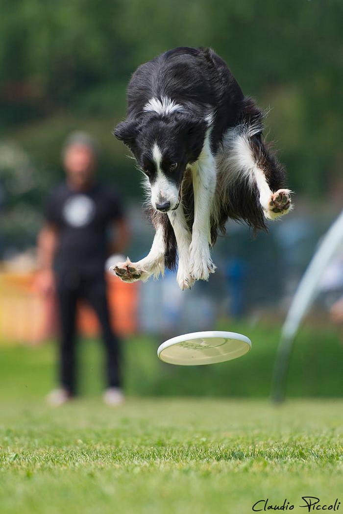 Супер собаки в фотографиях Клаудио Пикколи 34