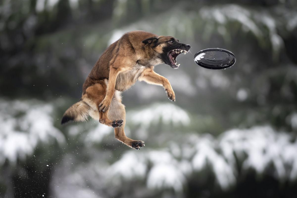 Супер собаки в фотографиях Клаудио Пикколи 6