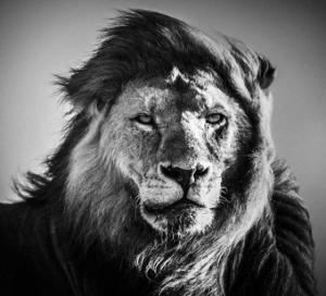 Чёрно-белые фотографии африканских диких животных от Лорана Баху