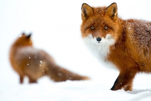 Cимпатичнейшие фотоснимки лис от фотоохотника Ивана Кислова