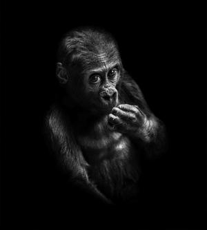 Человекоподобность обезьян в портретах Павла Богумила