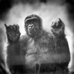За стеклом: портреты приматов в неволе. Фотограф Энн Берри