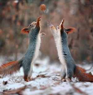 Как белки в снегу играли - фотограф Вадим Трунов